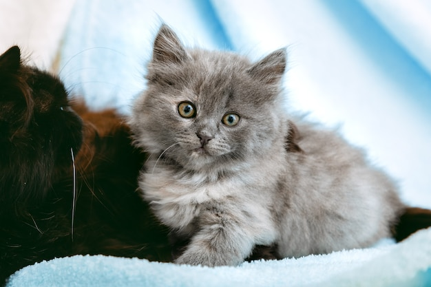 Kitten relaxes in home interior with cat mother. portrait of beautiful gray kitten relax on soft blue color plaid. home pet lying with copy space. happy domestic mammal animal cat