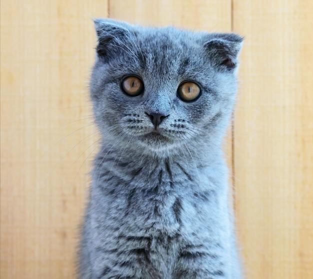耳をトリミングしたスコットランドの子猫。注意して見てください。