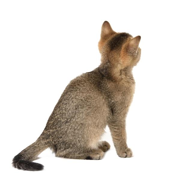 Котенок шотландской шиншиллы прямо сидит спиной, крупным планом