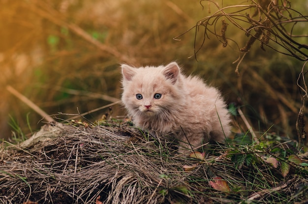 Kitten  in the summer garden. cat on the grass in the garden with several old brown leaves. cute cat in park. kitten walking on green grass