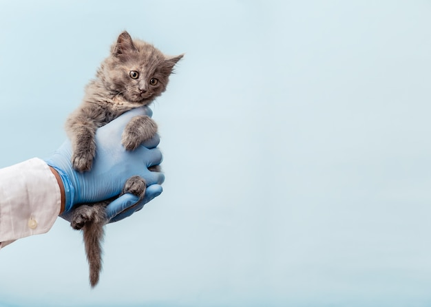 Kitten vet examining. gray cat in doctor hands on color blue background. kitten pet check up, vaccination in veterinarian animal clinic.health care domestic animal. copy space.