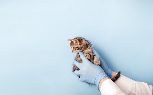 Осмотр котенка ветеринаром. полосатый серый кот в руках врача на цветном синем фоне. осмотр котенка, вакцинация в ветеринарной клинике. здравоохранение домашних животных. скопируйте пространство.