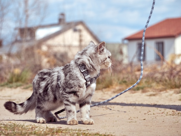 Котенок гуляет на поводке.