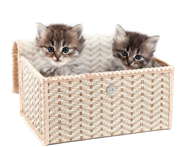Котята в подарочной коробке. он изолирован на белом фоне
