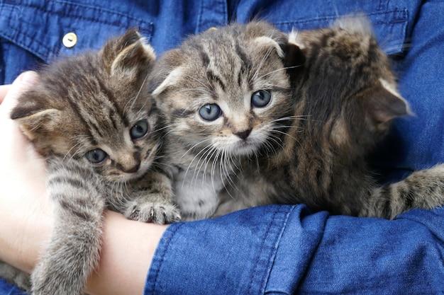 手の中の子猫。デニムブルーのシャツを着た女性の手に灰色の縞模様の子猫。スコティッシュフォールドの子猫。ペットの肖像画。ペットの世話。