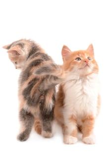 새끼 고양이 흰색 절연