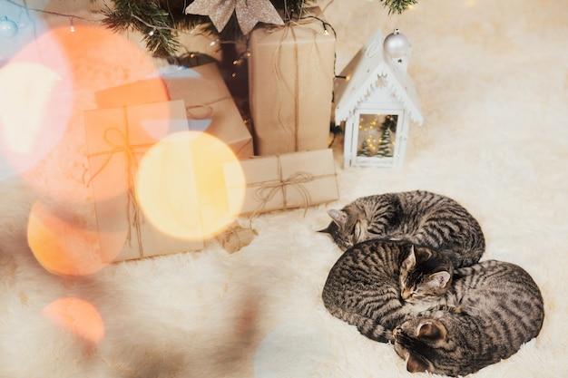子猫はクリスマスのお祝いで格子縞で寝る