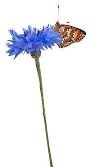 Перламутровый василек - melitaea фиби, бабочка, изолированные на белом