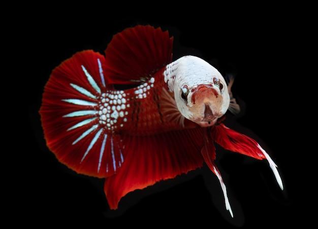 ファンシーko銀河bettaの魚。