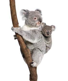 Коала и ее ребенок - phascolarctos cinereus