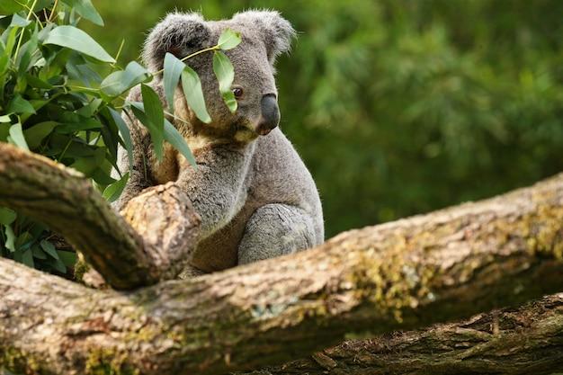 나무에 코알라 곰
