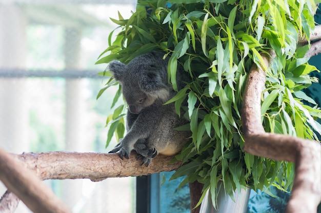 Koala bear sleeping in the gum trees at dusit zoo, thailand.