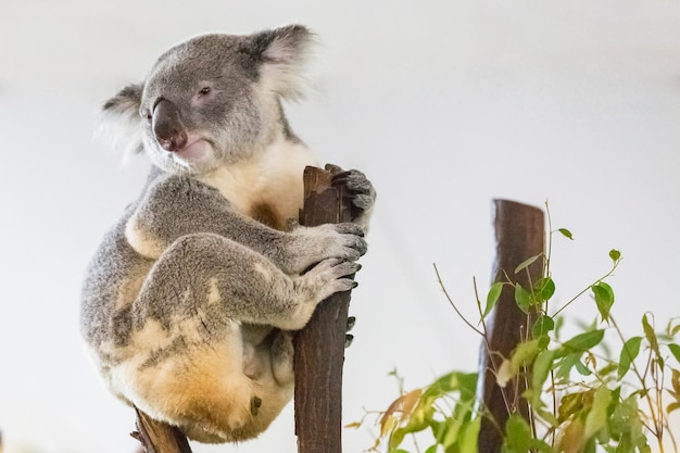 Koala, phascolarctos cinereus on tree