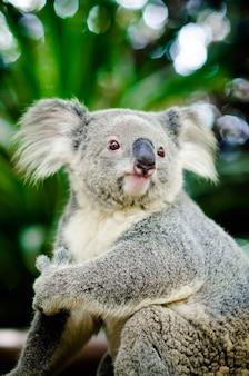 Koala sitting on a tree.