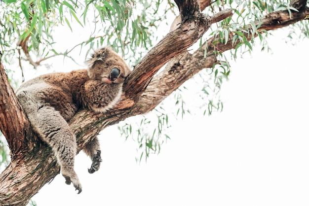 A koala sleeping on a branch close to eucalyptus trees.