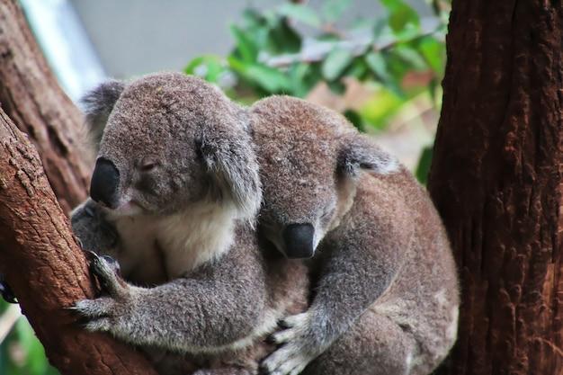 Koala in taronga zoo in sydney, australia