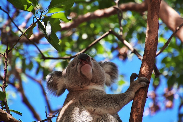 Koala in taronga zoo in sydney