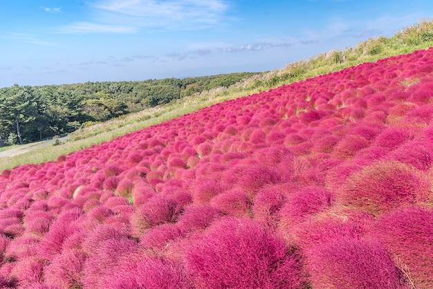 Kochia and cosmos filed hitachi ibaraki japan