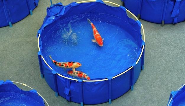鯉鯉の鯉日本の派手な色