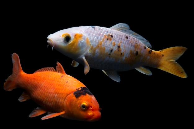 黒の背景で泳ぐ鯉の魚