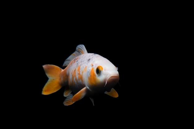 黒の背景に水中を泳ぐ鯉の魚