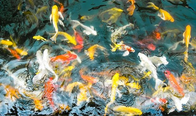 Koi рыба в пруду, красочный естественный фон