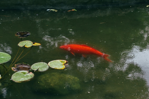 Кои рыба в пруду