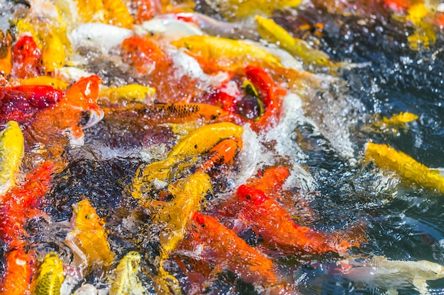 Koi fish плавание красивые цветовые вариации натуральные органические