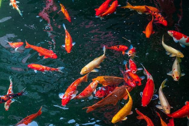 Кои плавают в пруду.
