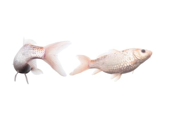 白い背景の上で泳ぐ鯉