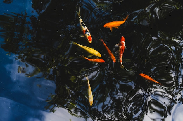 Koi fish swimming in a pond in garden
