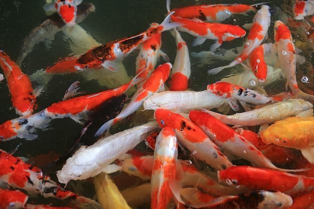 池には美しい色の鯉が泳いでいます。