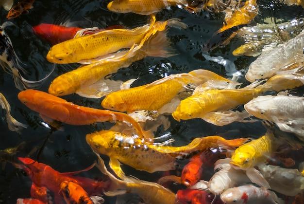Рыба кои