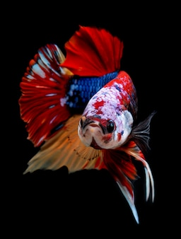 Koi galaxy fancy betta fish.