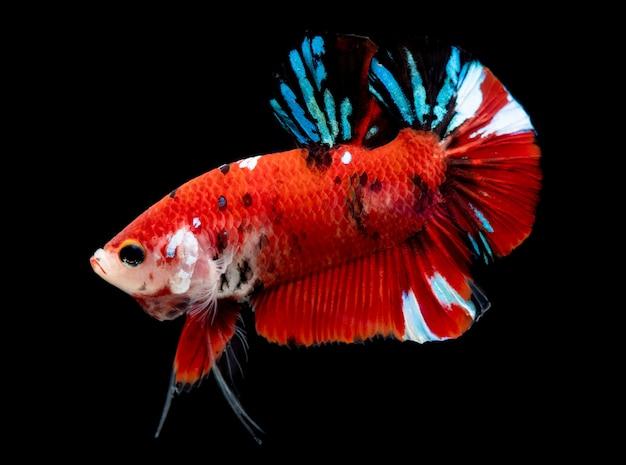 Koi galaxy fancy betta fish.