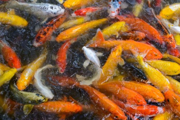 鯉、より具体的にはジンリまたはニシキゴイ、文字通り「ブロケードコイ」は、アムールコイ(cyprinus rubrofuscus)の着色された品種です。三亜市柳田公園の熱帯林。海南、中国。