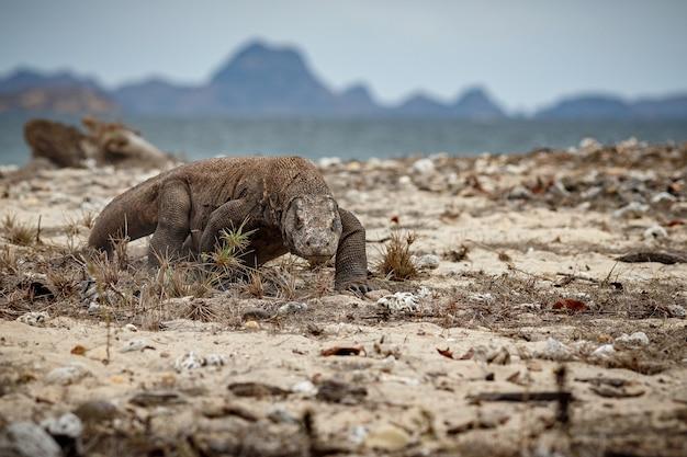 インドネシアの有名な島の美しい自然の生息地にあるコモドオオトカゲ