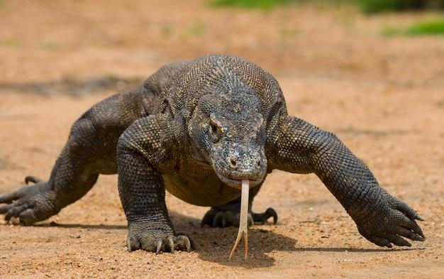Komodo dragon is on the ground.