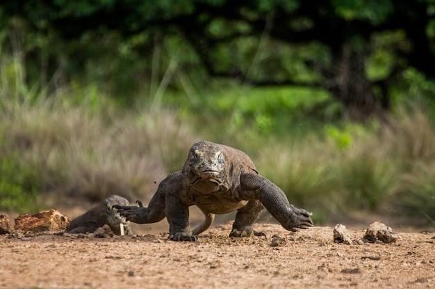 コモドオオトカゲが地面を走っています。インドネシア。コモド国立公園。
