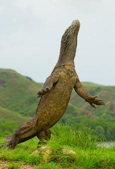 コモドオオトカゲは後ろ足で直立しています。インドネシア。コモド国立公園。