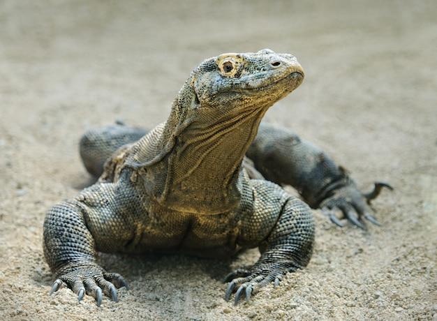 Komodo dragon looks in camera, close up portrait over sand