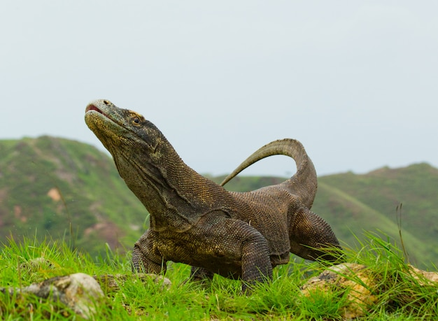 Komodo dragon sitting on the ground against the backdrop of stunning scenery.