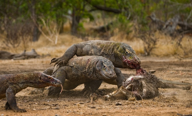 コモドオオトカゲは獲物を食べています。インドネシア。コモド国立公園。