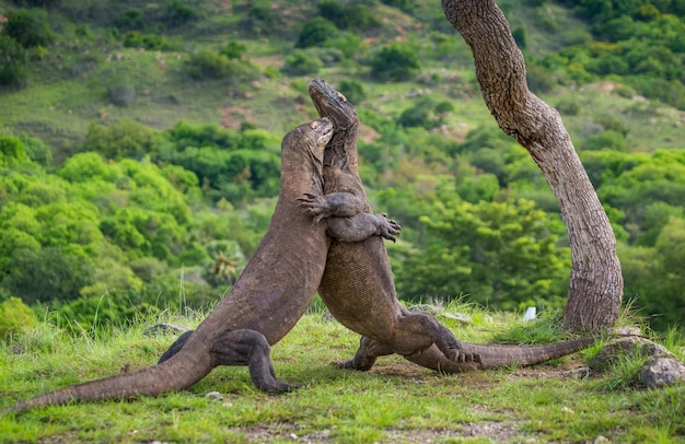 コモドオオトカゲは互いに戦っています。インドネシア。コモド国立公園。