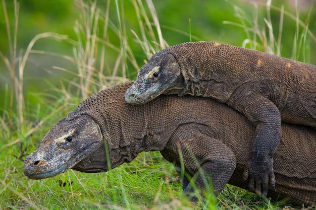 코모도 드래곤은 서로 싸우고 있습니다. 매우 드문 사진입니다. 인도네시아. 코모도 국립 공원.