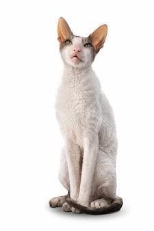 Кошка кониш-рекс сидит, изолированные на белом фоне