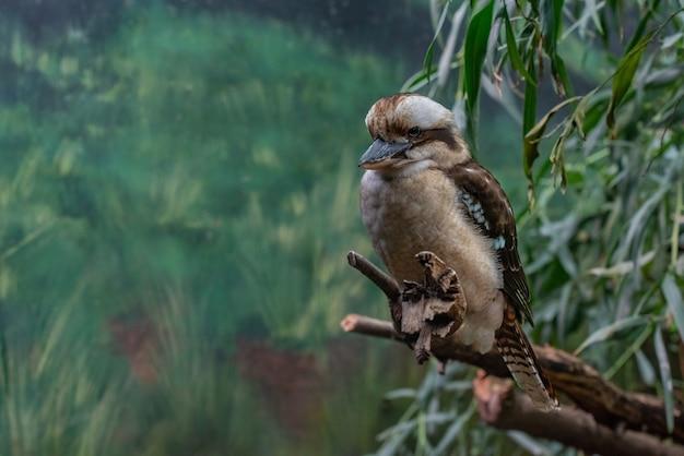 枝にワライカワセミの鳥