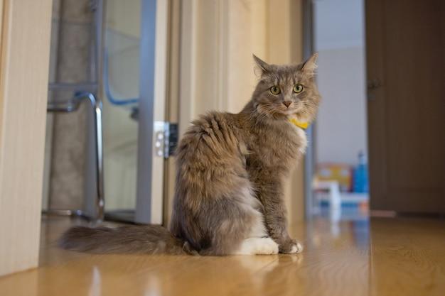 木の床に座っているコラット飼い猫。
