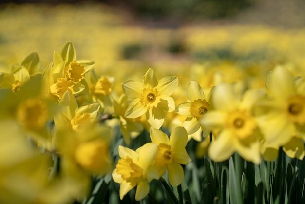 Korea, a park with many daffodils