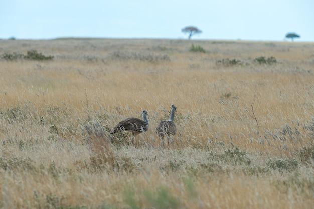 Kori bustard walking in the grasslands of etosha in namibia